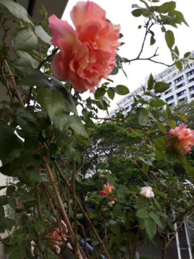 rose-schlangenbaderstr